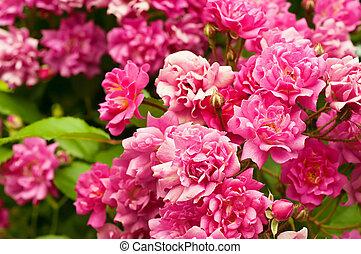 peonía, flores