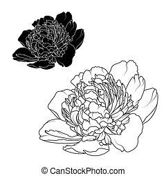 peonía, rosa, aislado, negro, flores blancas, contraste