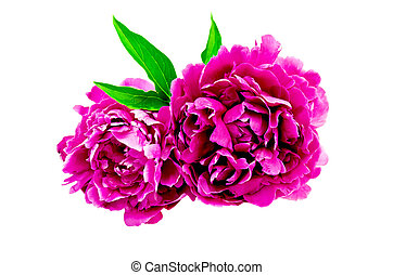 Peonies bright pink with leaf