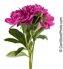 Peonies flowers isolated on white background