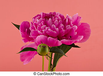 Peonies flowers on a pink background