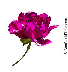 Peonies. Flowers peonies. Burgundy peony bud isolated on...