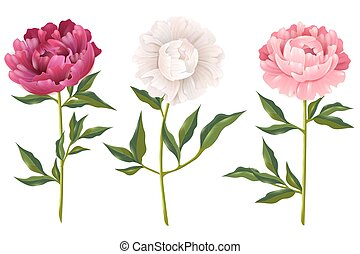 Peonies Realistic Set - Pink and white peonies realistic set...