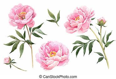 peony, aquarela, flores, ilustração