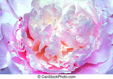 Peony - Beautiful bloom with circular whirl of petals