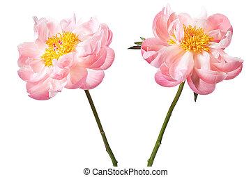 peony, blossom , vrijstaand, op, een, witte achtergrond
