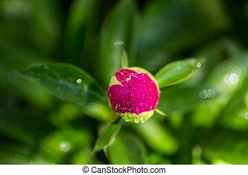 Peony Buds - Dark pink peony flower bud opening with water...