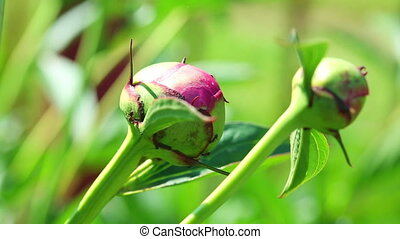 Peony buds - Pink peony buds with ants.