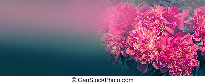 Peony bush pink flowers on a blurry background