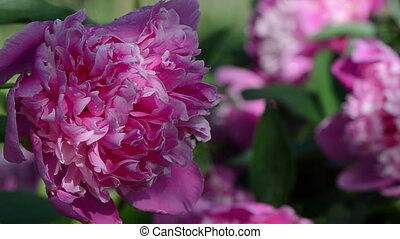 peony flower bloom dew - Closeup of dewy red peony flower...