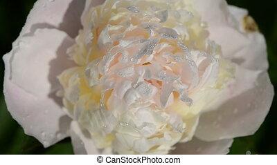 peony flower bloom dew - Closeup of dewy peony flower bloom...