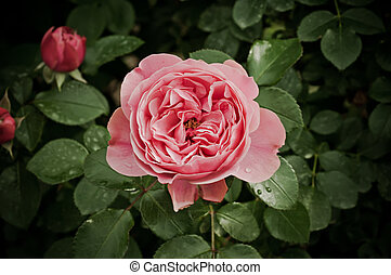 Peony flower - Pink peony flowers growing in the garden, ...
