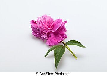 peony flower
