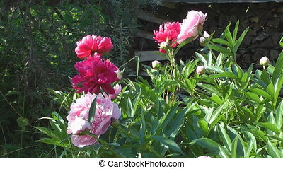Peony. - Flowerbed with peonies in the sunny summer day.