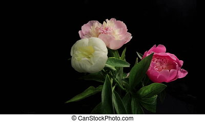 Peony Flowering Timelapse - Isolated Flowers blooming...