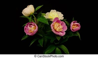 Peony flowers blooming - Isolated flowers blooming timelapse...