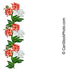 peony flowers isolated on white background