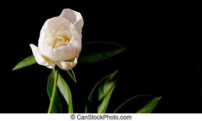 peony flowers - timelapse of peony flowering