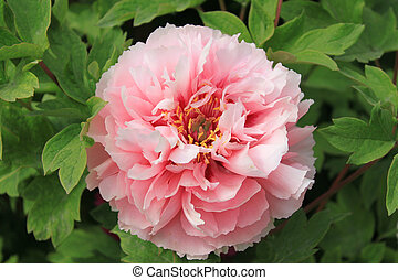 Peony - Pink peony flower of China