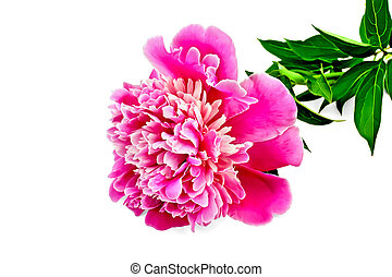 Peony pink with green leaves