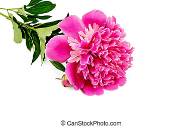 Peony pink with leaves