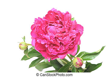Peony single flower isolated on white background