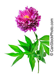Peony single flower - Pink with white peony and white...