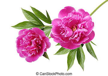 Peony - Pink peony Paeonia suffruticosa flower isolated on...