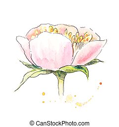 Peony with stamen in watercolor. Watercolor painting of peony.