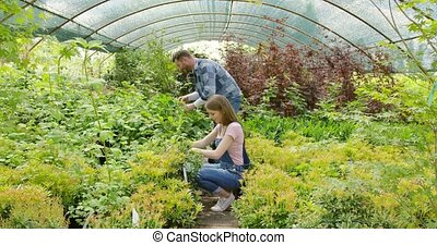 People cutting plants in hothouse - Horizontal indoors shot...