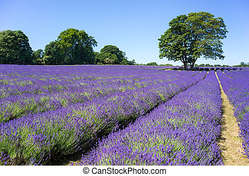 People enjoying a Lavender field in Banstead Surrey