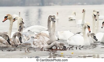 People feed the swans in winter river - People feed the...