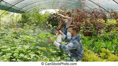 People fertilizing plants in greenhouse - Gardeners man and...