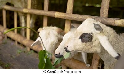 people give leafy stalks to cute goats in cages on the farm
