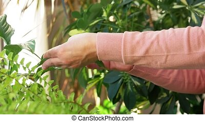 senior woman takes care of houseplant at home - people, ...