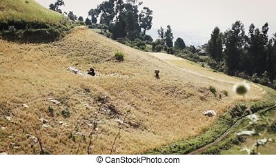 People in ethiopia carrying crops in a hilly terrain -...