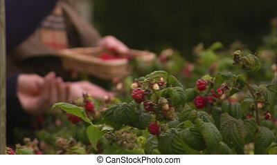 People picking up berries from its stem - A shot of people...