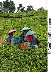 People picking up tea