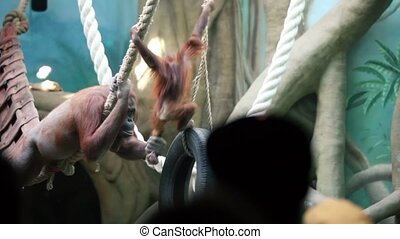 People watch on large female orangutan with baby on ropes in zoo