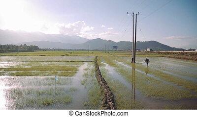 People work at rice fields, Vietnam. HD 1080p