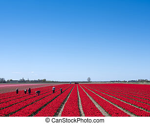 people work in field of red tulips in holland