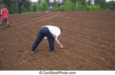 people working picking rocks off field befor they...