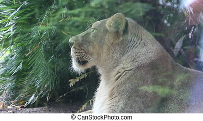 Peoples reflection as they passing lioness in the zoo