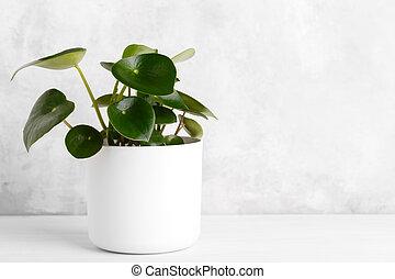 Peperomia polybotrya plant