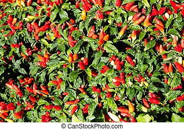 Pepper Garden