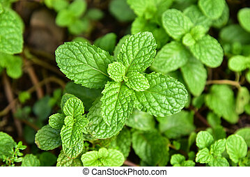 Pepper mint in vegetable garden