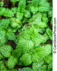 Pepper mint leaves  background texture