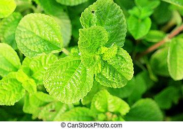 Pepper mint leaves