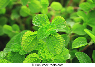 Pepper mint leaves