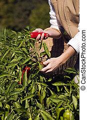 Pepper picking